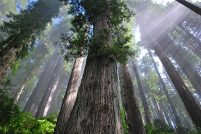 The-giant-redwood-forest